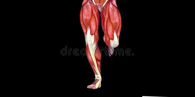 Ejemplo Humano De La Anatomía Del Cuerpo Masculino De Un Brazo ...