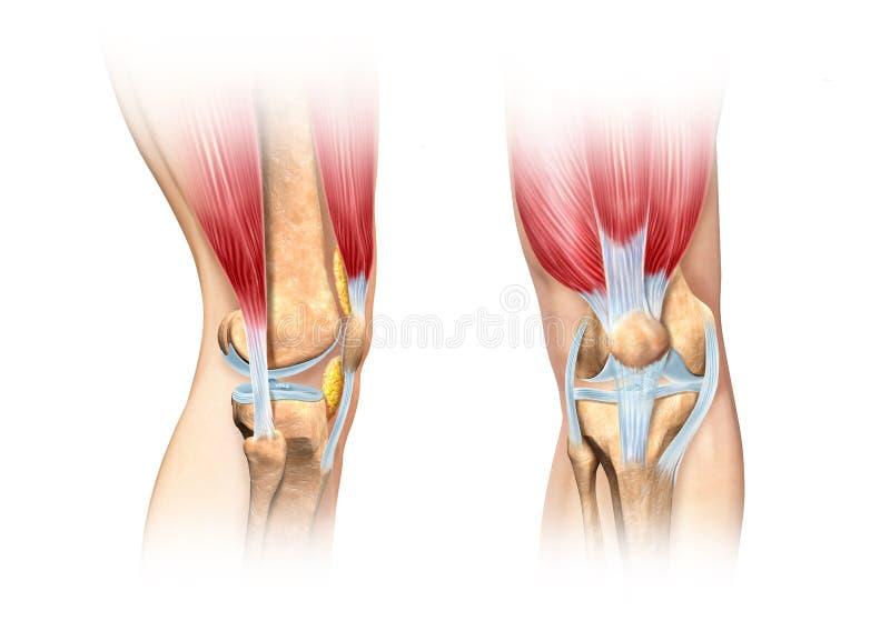 Ejemplo humano del corte de la rodilla. Imagen de la anatomía. ilustración del vector
