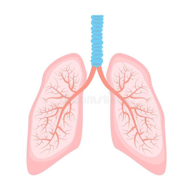 Ejemplo humano del pulmón stock de ilustración