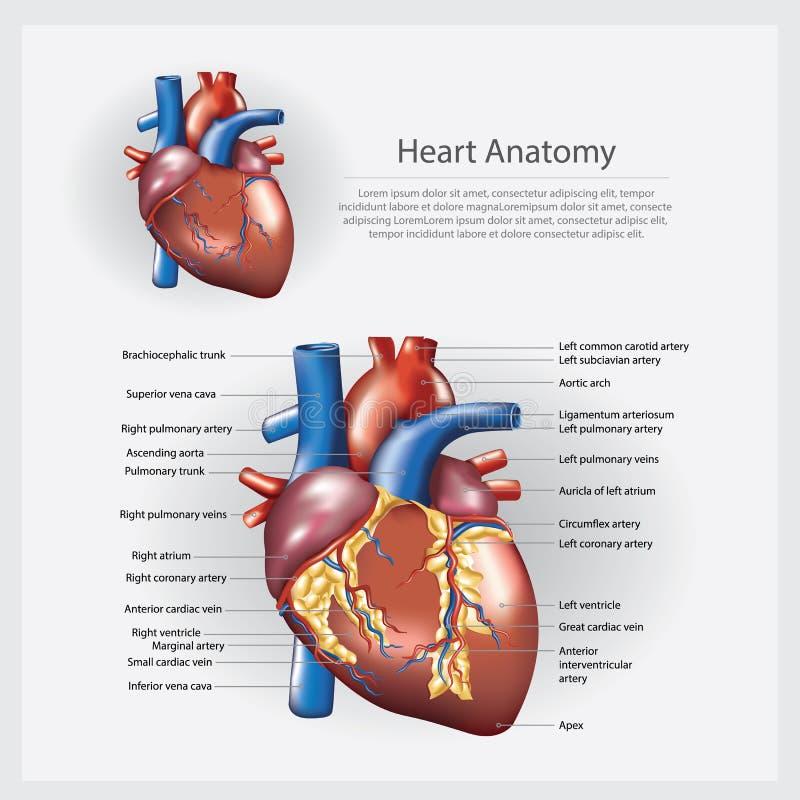 Ejemplo Humano Del Vector De La Anatomía Del Corazón Ilustración del ...