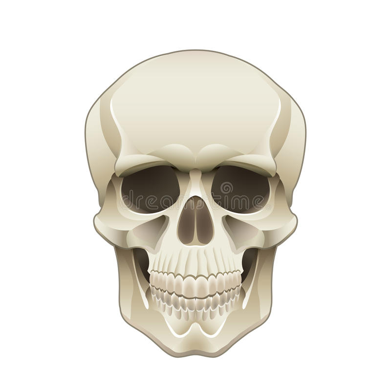 Ejemplo humano del vector del cráneo stock de ilustración