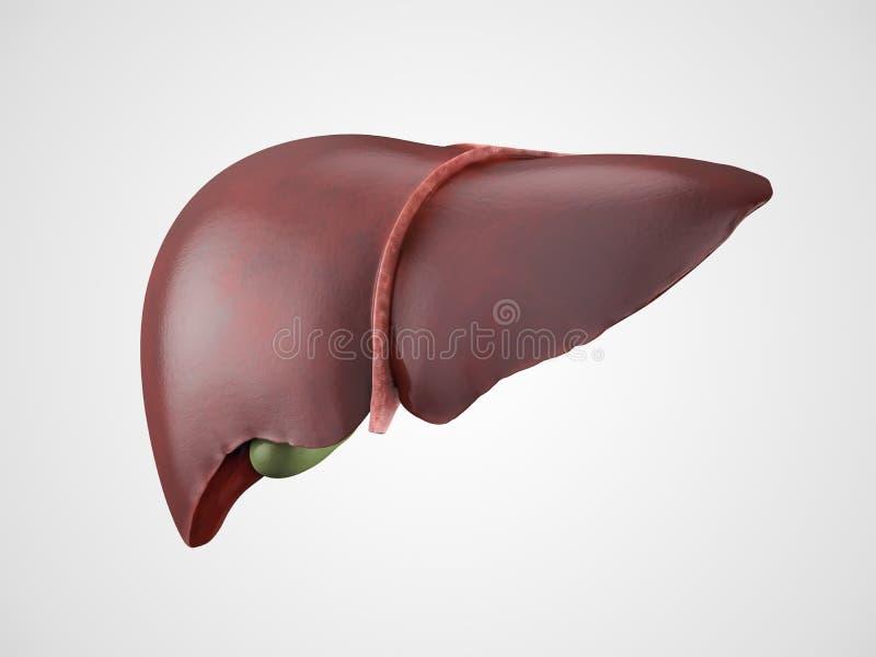 Ejemplo humano realista del hígado stock de ilustración