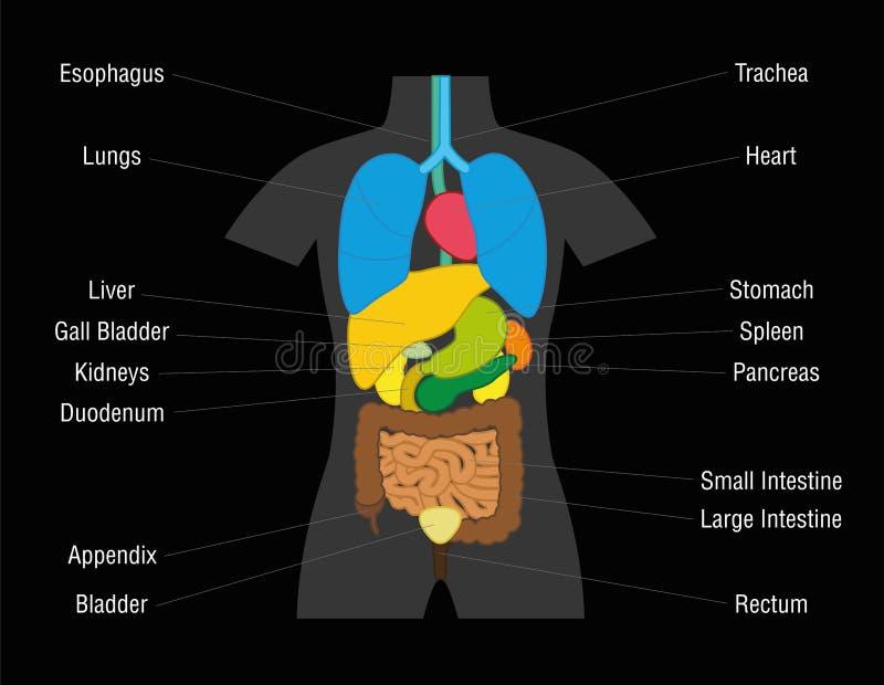 Ejemplo interno de la carta de los órganos stock de ilustración