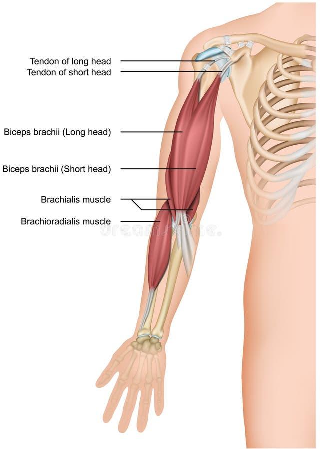 Ejemplo médico de la anatomía 3d del bíceps y de los brachioradialis en el fondo blanco ilustración del vector