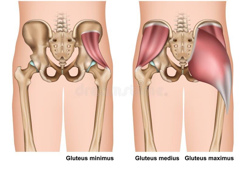 Ejemplo médico de la anatomía 3d del músculo de glúteo en el fondo blanco stock de ilustración