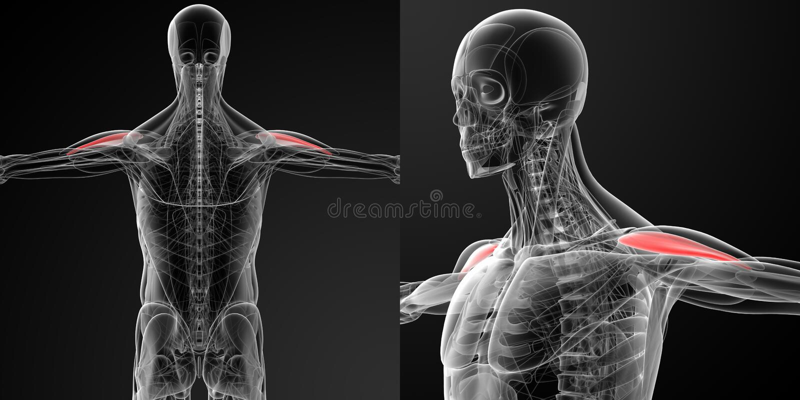 Ejemplo médico del deltoideo anterior ilustración del vector