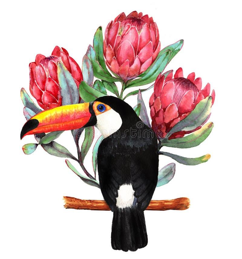 Ejemplo a mano de la acuarela de las flores rojas del protea y del pájaro negro grande del tucán ilustración del vector