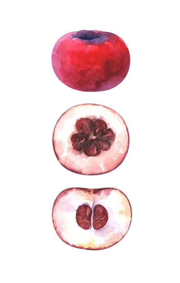 Ejemplo pintado a mano de la acuarela de rebanadas y de la manzana entera del terciopelo libre illustration