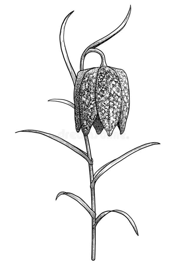 Ejemplo principal del fritillary de la serpiente, dibujo, grabado, tinta, l?nea arte, vector stock de ilustración