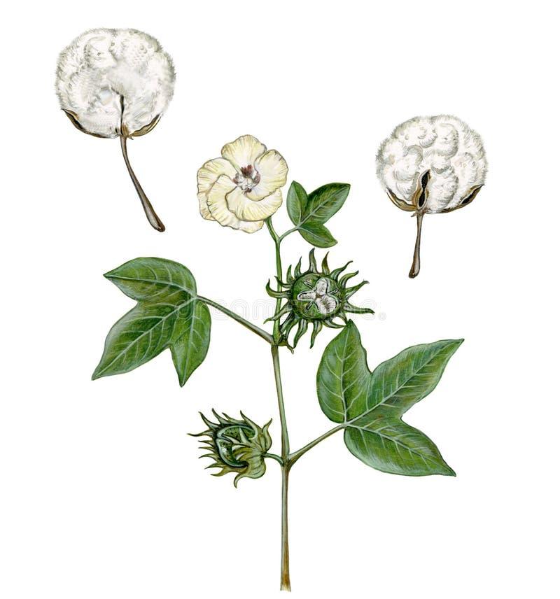 Ejemplo realista de la acuarela de la planta de algodón fotografía de archivo libre de regalías