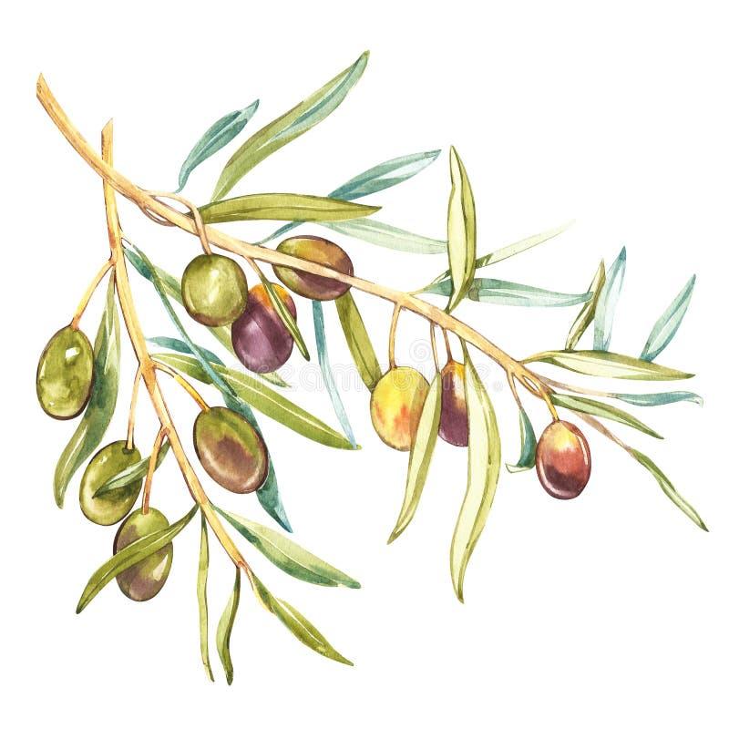Ejemplo realista de la acuarela de la rama de aceitunas negras y verdes aislada en el fondo blanco Diseño para el aceite de oliva stock de ilustración
