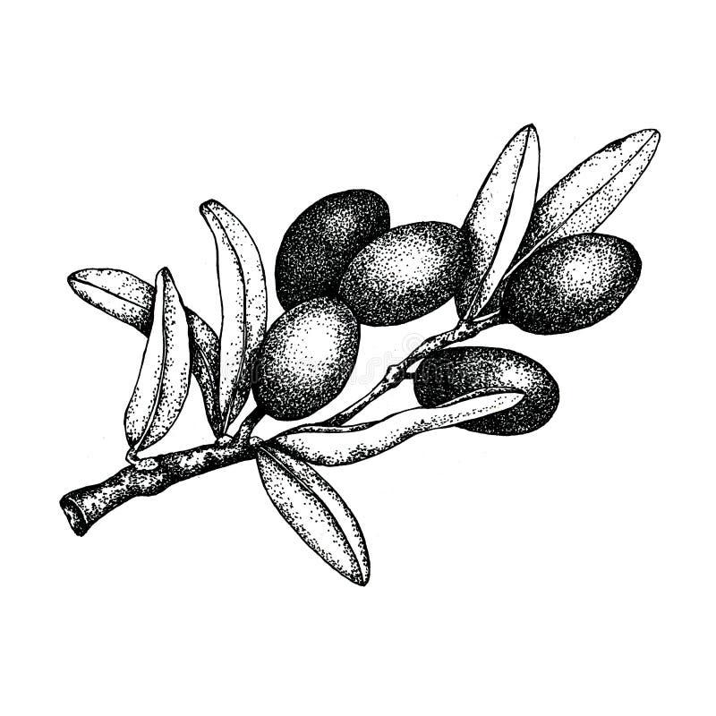 Ejemplo realista de la rama de aceitunas negras y verdes aislada en el fondo blanco Diseño para el aceite de oliva, cosméticos na imagen de archivo