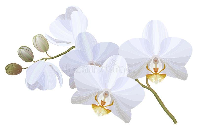 Ejemplo realista del vector de las flores blancas de la orquídea en el fondo blanco libre illustration