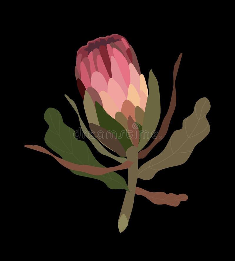 Ejemplo realista del vector del Protea del rosa Protea stock de ilustración