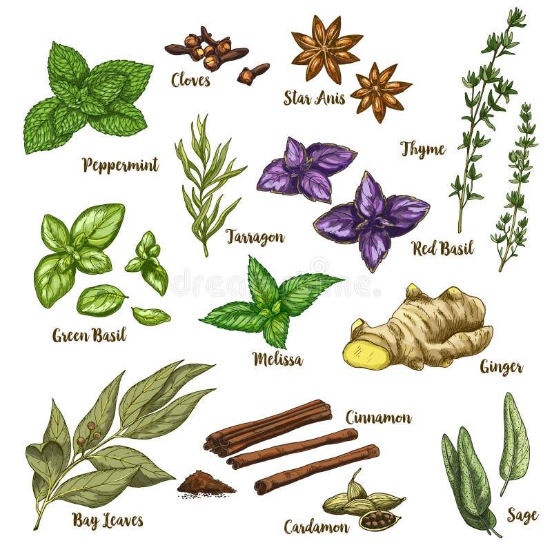 Ejemplo realista a todo color del bosquejo de hierbas y de especias culinarias ilustración del vector