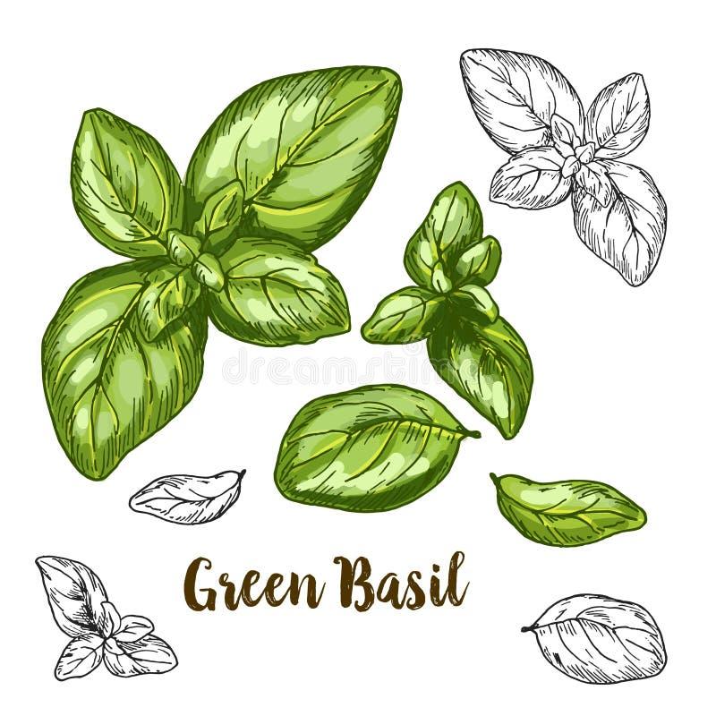 Ejemplo realista a todo color del bosquejo de la albahaca verde ilustración del vector