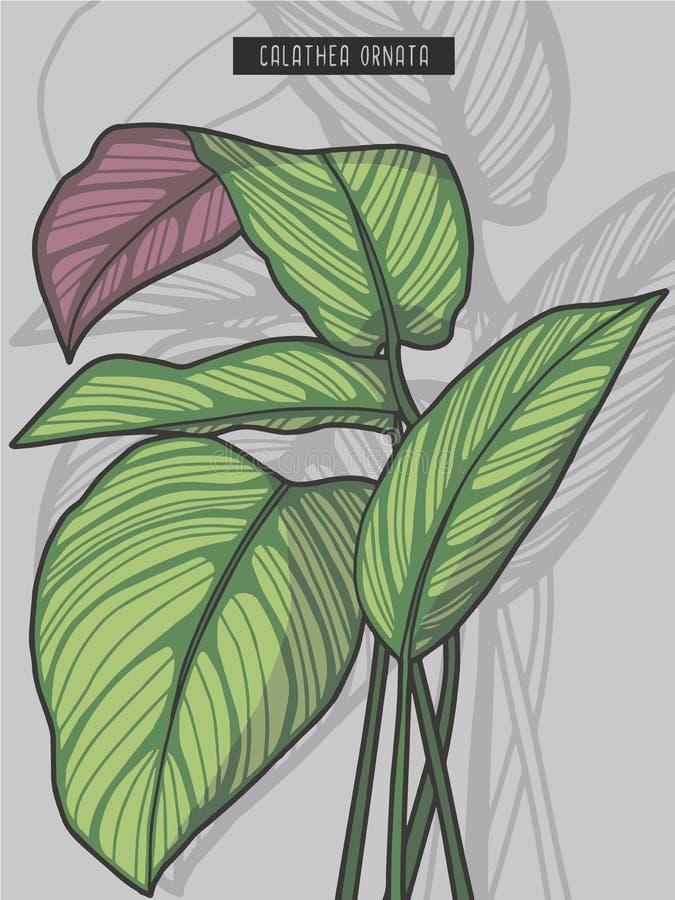 Ejemplo tropical del vector de la planta del rezo del Pin de la raya del calathea de la selva tropical exhausta del ornata libre illustration