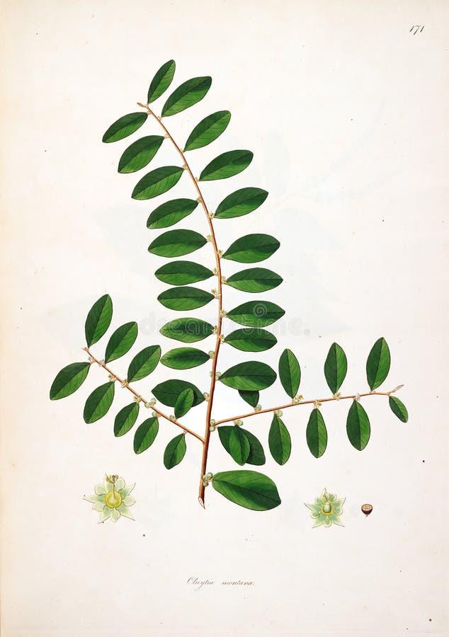 Ejemplos de la planta ilustración del vector