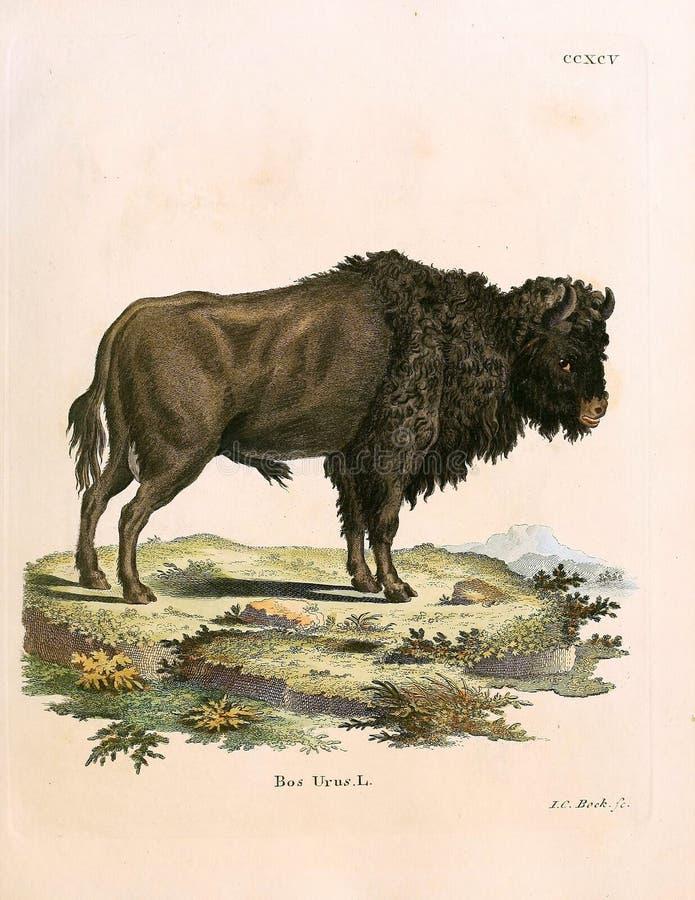 Ejemplos del bisonte libre illustration