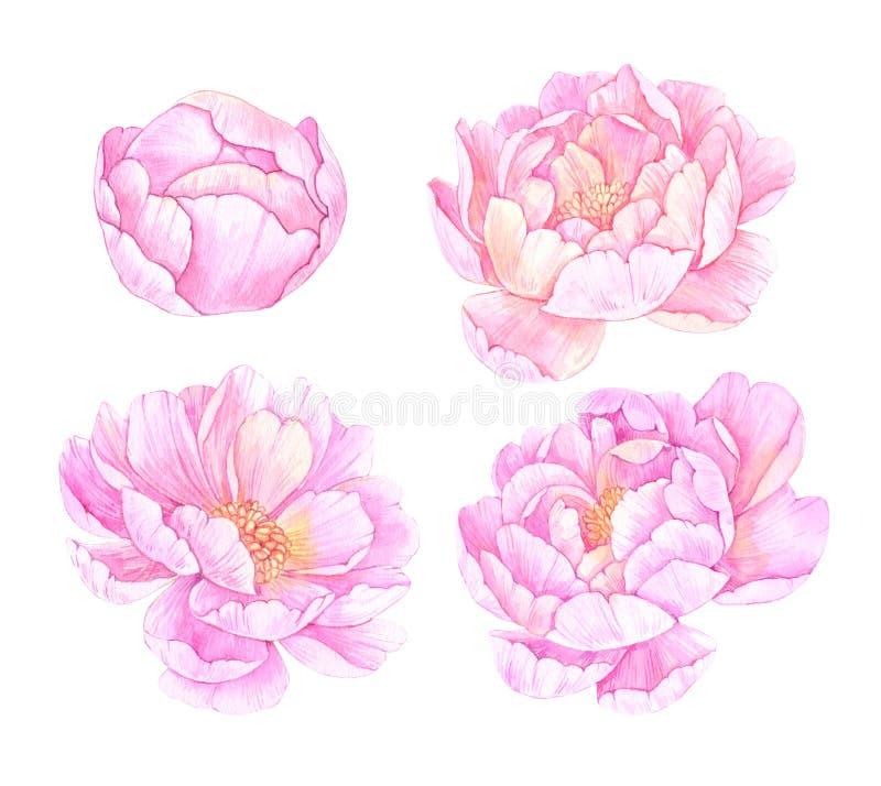Ejemplos dibujados mano de la acuarela Flores rosadas de los peonies excepto ilustración del vector