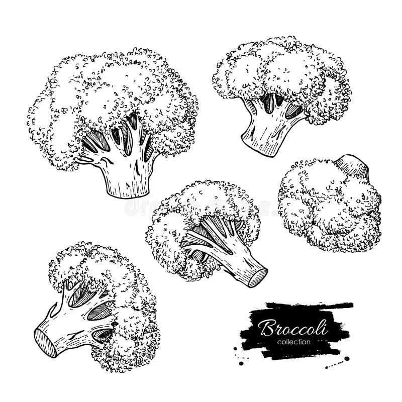 Ejemplos dibujados mano del bróculi Pocilga grabada verdura ilustración del vector
