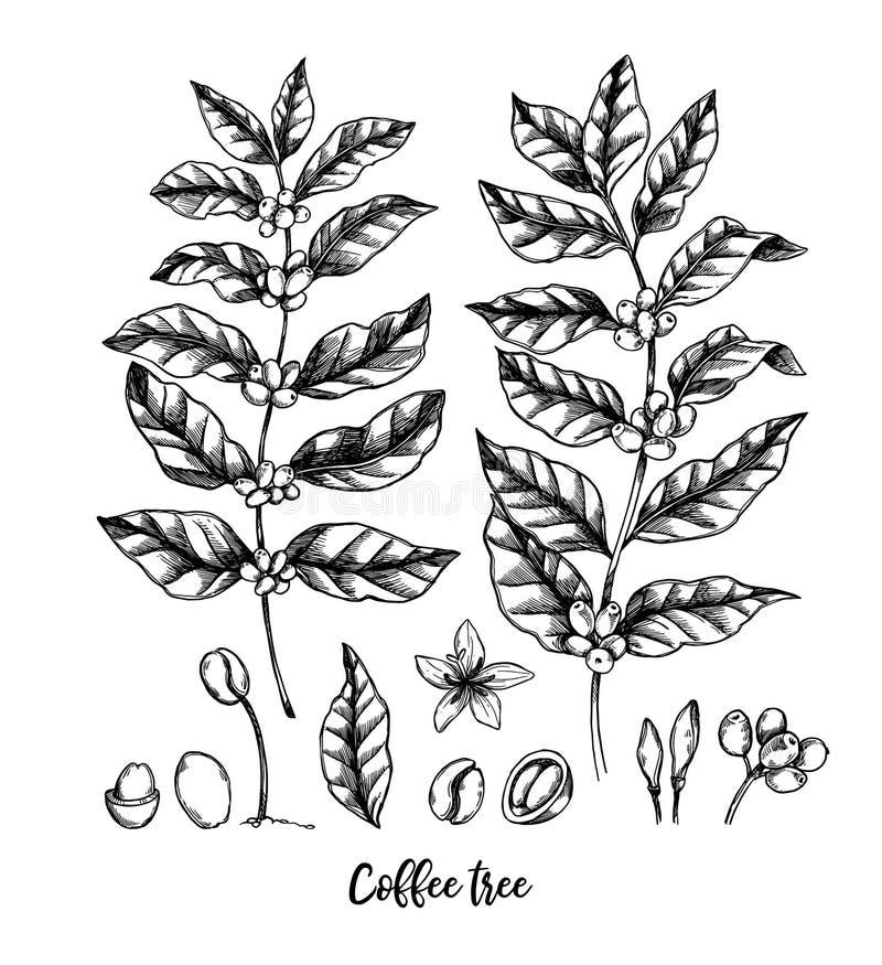 Ejemplos dibujados mano del vector cafeto y granos de café H ilustración del vector