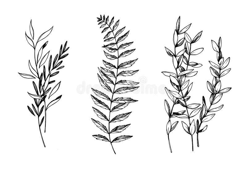 Ejemplos dibujados mano del vector Ramas botánicas del eucalyptu libre illustration