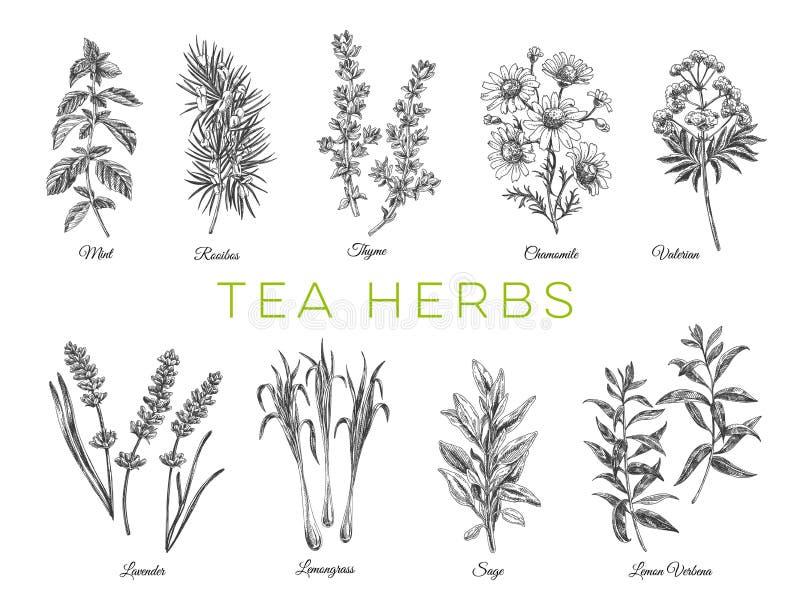 Ejemplos dibujados mano hermosa de las hierbas del té del vector stock de ilustración