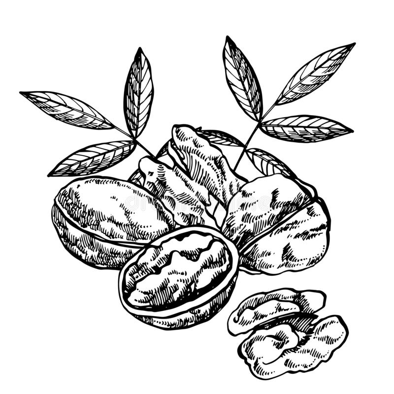 Ejemplos exhaustos de las nueces del estilo del bosquejo de la mano Ejemplo en estilo del vintage aislado en el fondo blanco libre illustration