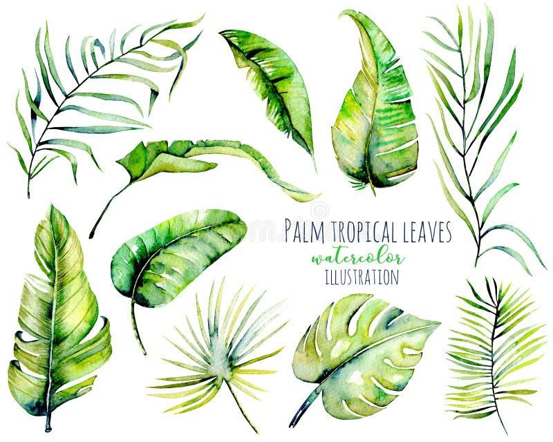 Ejemplos tropicales de las hojas y de las ramas del verde de la palma de la acuarela ilustración del vector
