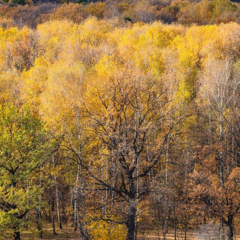 Ek i färgrik skog i solig dag arkivbilder