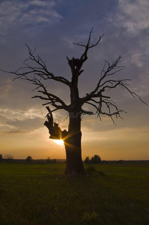 Ek i Rogalin på solnedgången royaltyfria bilder