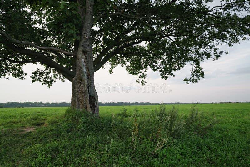 Ek- och lönnträdpar på sommarfält på den soliga aftonen arkivfoto