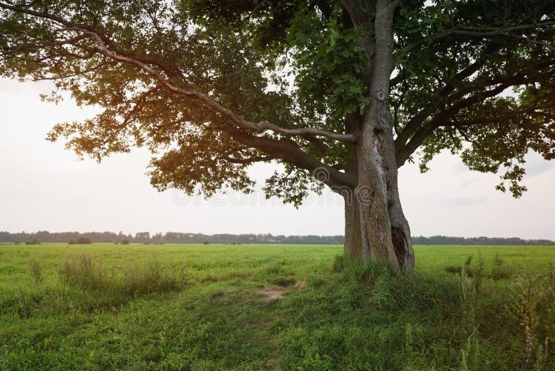 Ek- och lönnträdpar på sommarfält på den soliga aftonen royaltyfria bilder