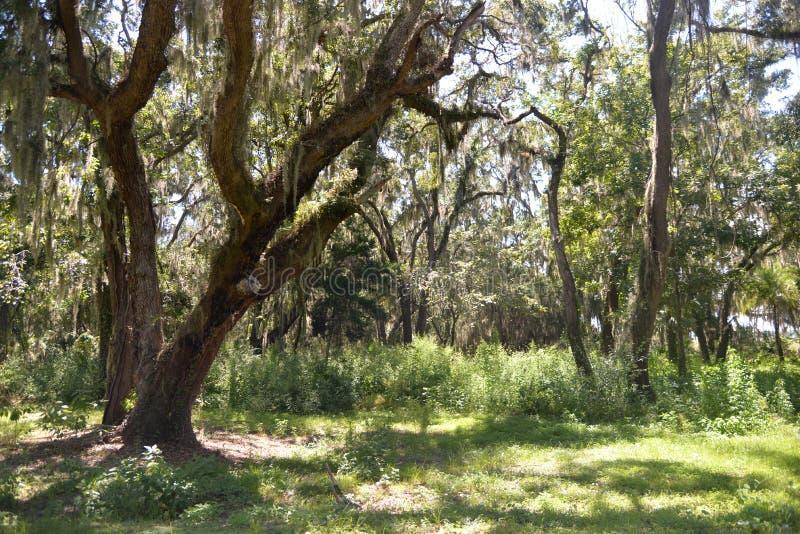 Ekar kommer med en skog av mörka sidor och stora stammar till ögolvet royaltyfria foton