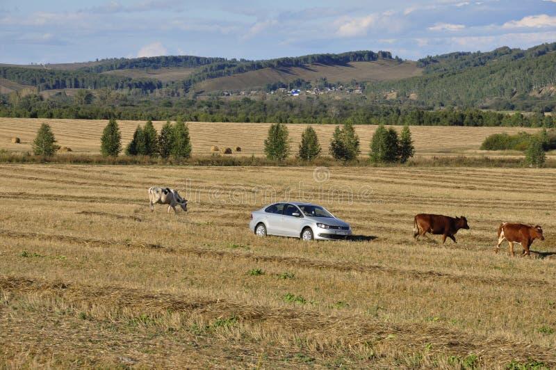 Ekaterinburg, Ural, Rusland 1 september, 2017 De koeienhoeder in de auto!!! en koeien die die in de weide van geel weiden en stock afbeelding