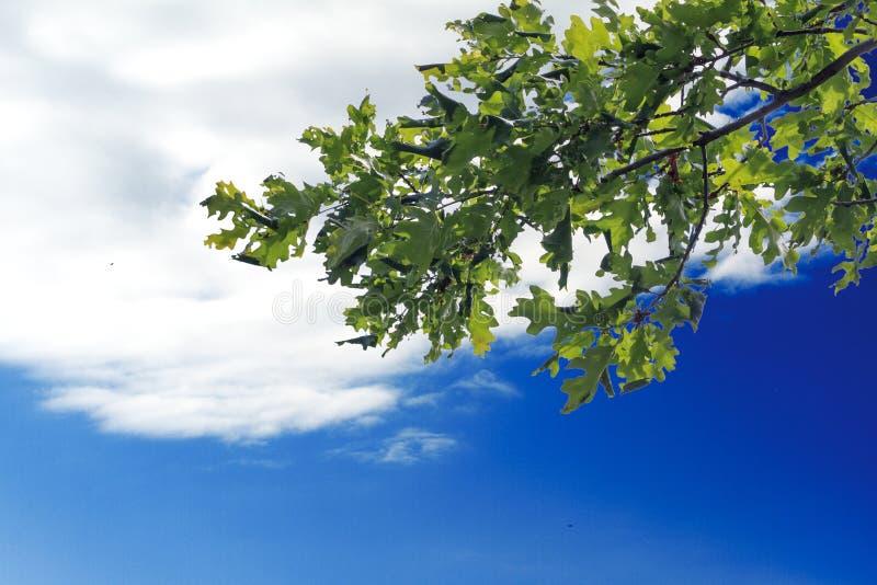 Eken förgrena sig med sidor mot himmel med moln kopiera avstånd royaltyfria foton