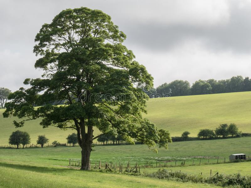 Eken på söderna besegrar, Falmer, East Sussex, UK royaltyfria bilder