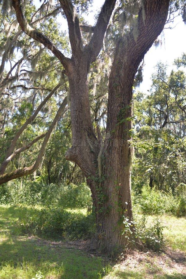 Eken står som en vaktpost i denna skog av jättar arkivbilder