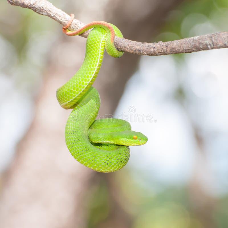 Ekiiwhagahmg arrastra (el verde de las serpientes) foto de archivo libre de regalías