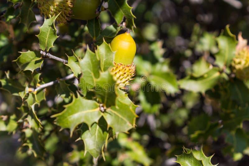 Ekollon på grönt träd royaltyfria bilder