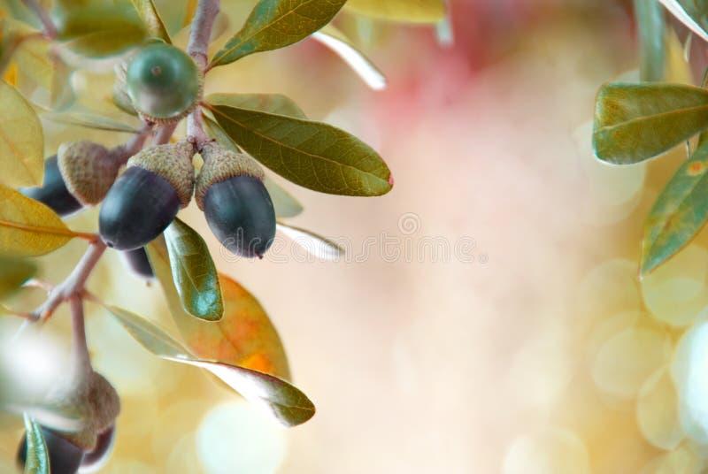 Download Ekollonar arkivfoto. Bild av leaves, utomhus, stem, muttrar - 3525430