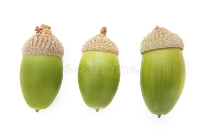 ekollonar stänger upp green tre fotografering för bildbyråer