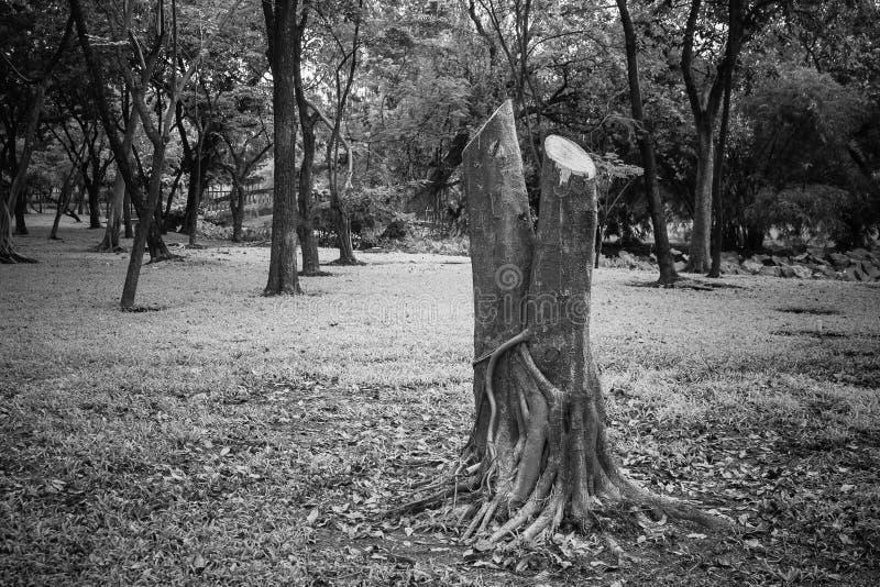 Ekologibegrepp: Stubbe av trädet klippa som omger ner med många träd i parkera arkivbild