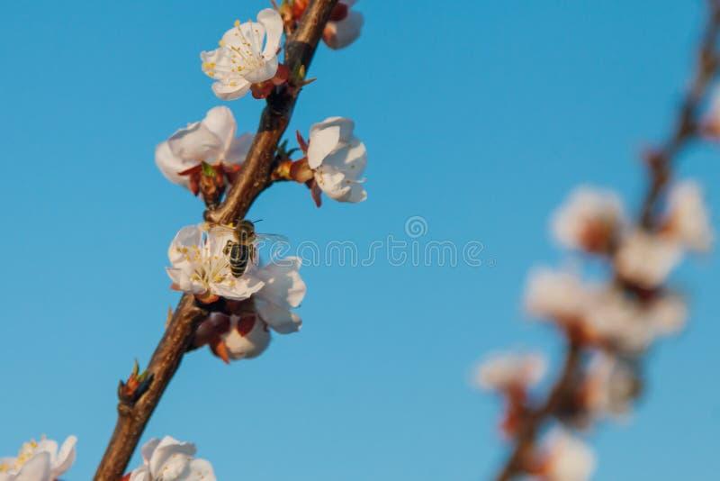 Ekologiczni owocowi drzewa morelowy kwiat pięknie zdjęcie stock