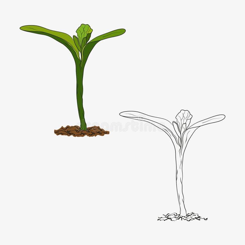 Ekologicznie życzliwy kultywujący rośliny kiełkowanie od ziaren, pierwszy opuszcza ilustracji