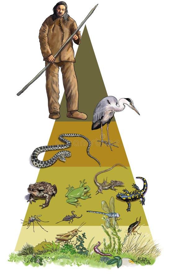 Ekologiczny ostrosłup, amfibie i reptils, ilustracji