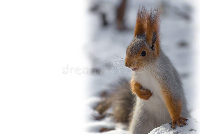 ekorre Djuret vilar och att luta på en gammal snö-täckt stubbe royaltyfri fotografi
