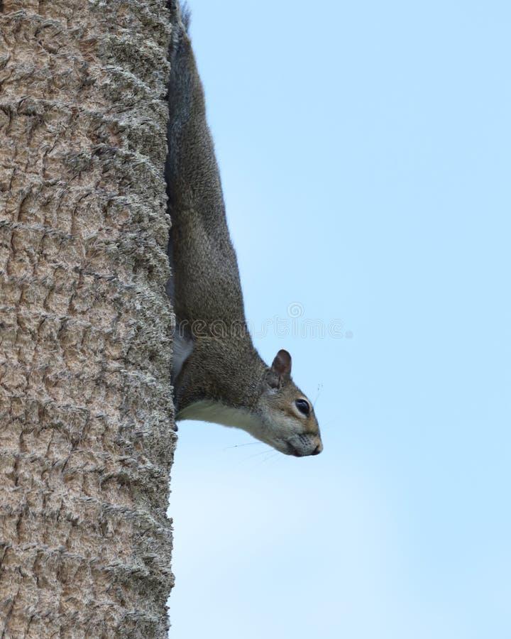 Ekorre för östliga grå färger på en palmträdstam arkivfoton