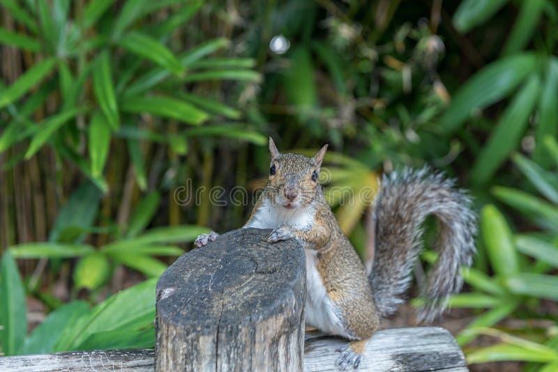 Ekorre i Busch trädgårdar Tampa Bay Florida royaltyfri bild